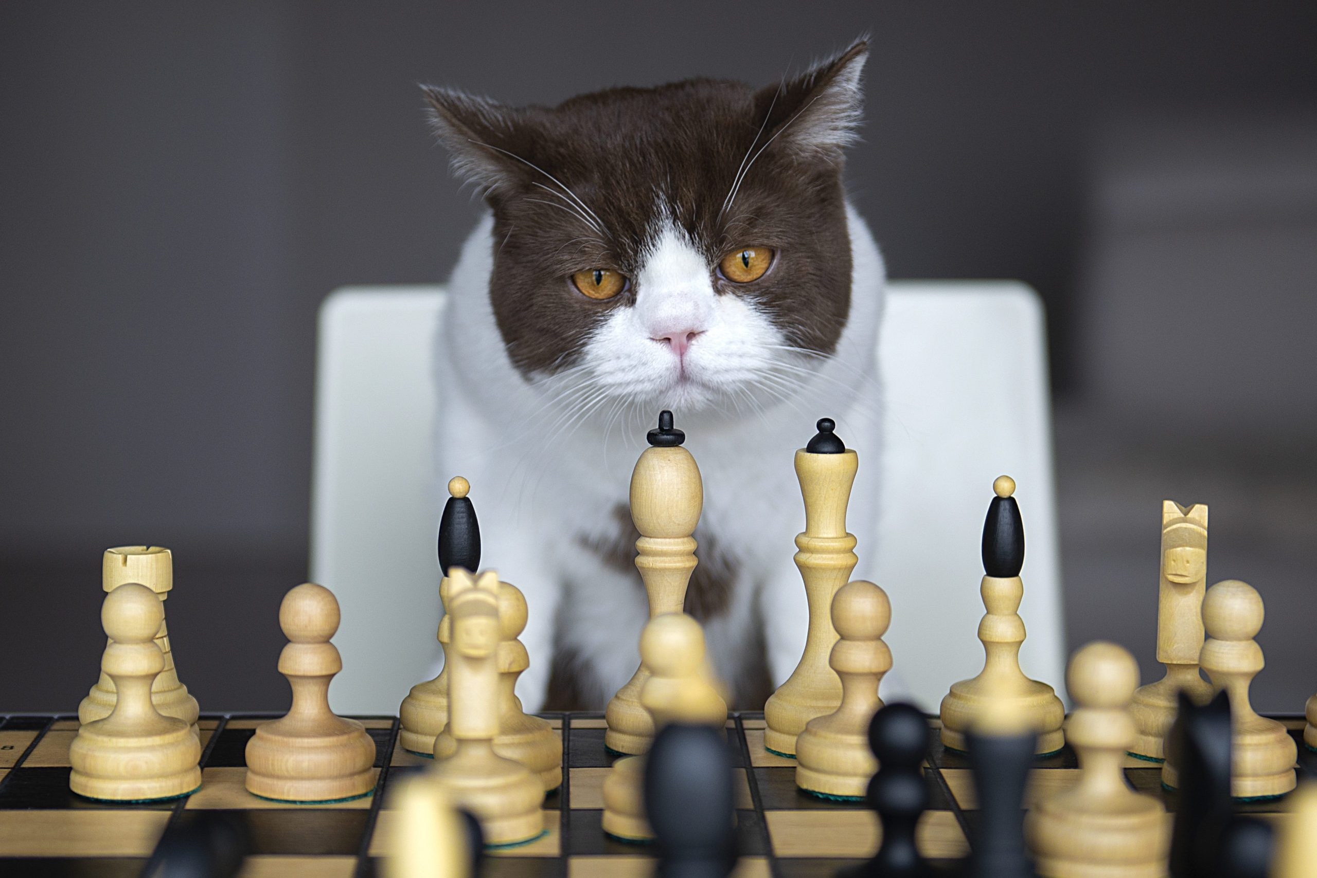 A Serious Cat Is Playing With Me In A Chess At House During The Quarantine Of The Corona Virus