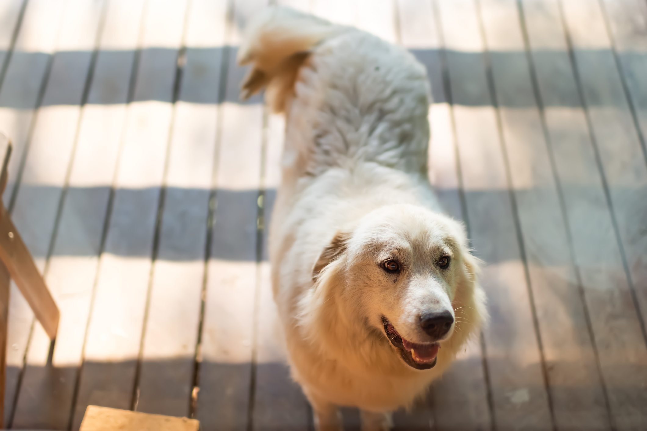 Above view of white great pyrenees dog by entrance of farm home or house door asking begging to go inside