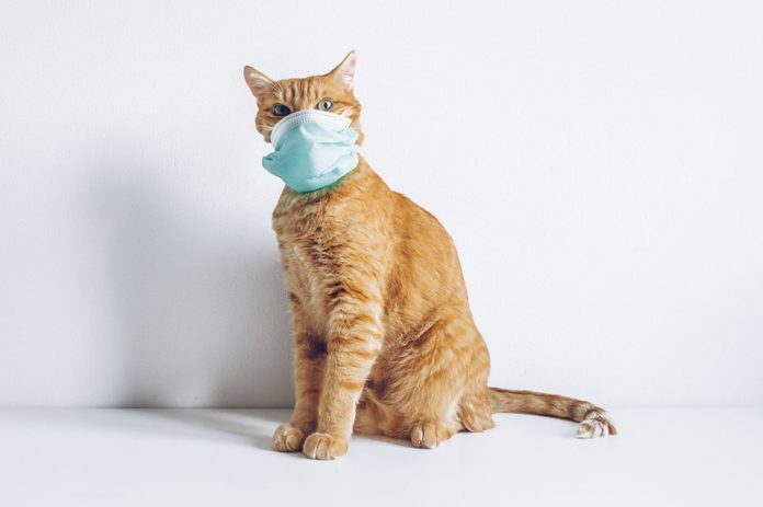 Cat wearing medical mask on white background because of coronavirus or air pollution or virus epidemic. Covid for pets. Place for text stock photo