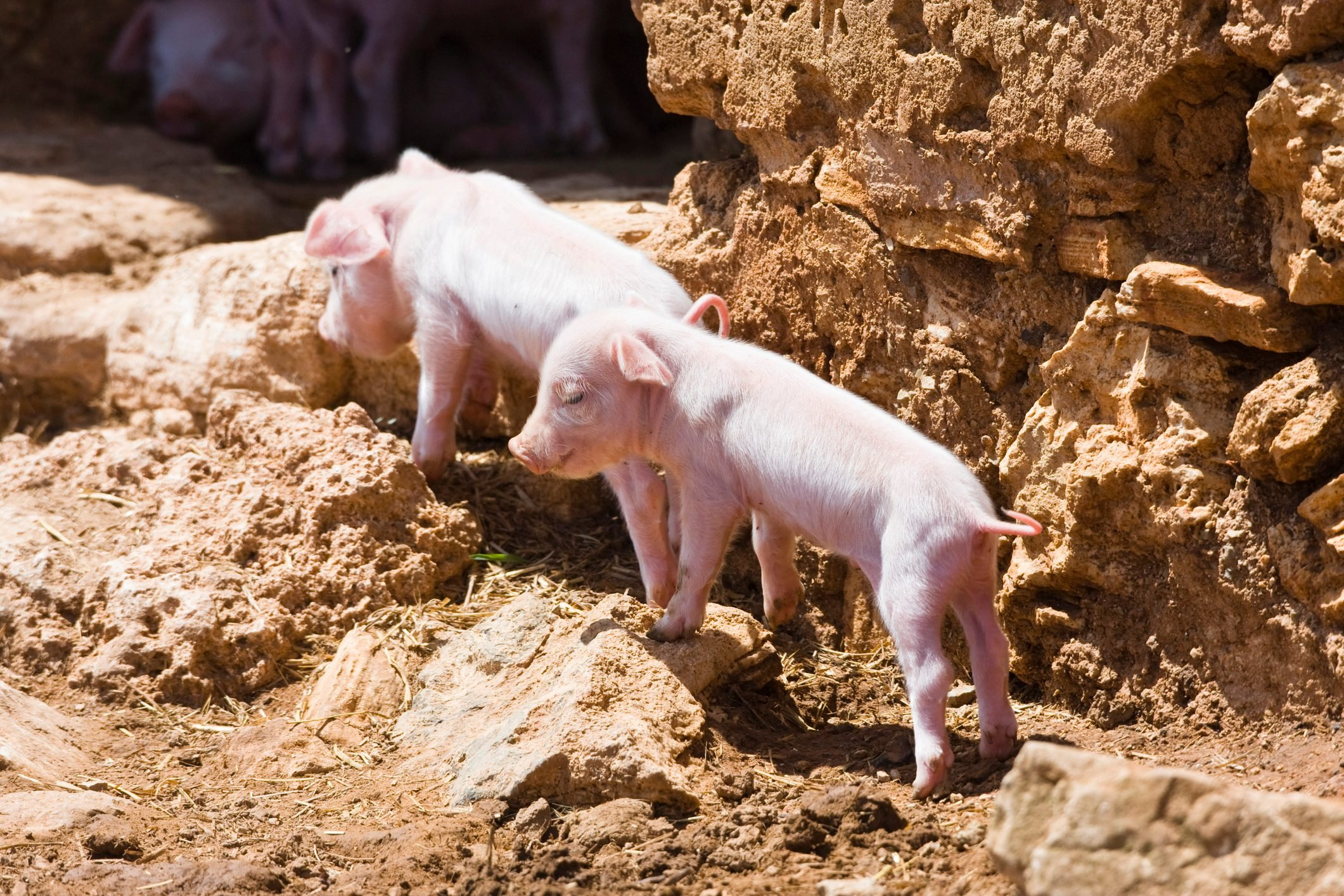 young pigs exploring the farm