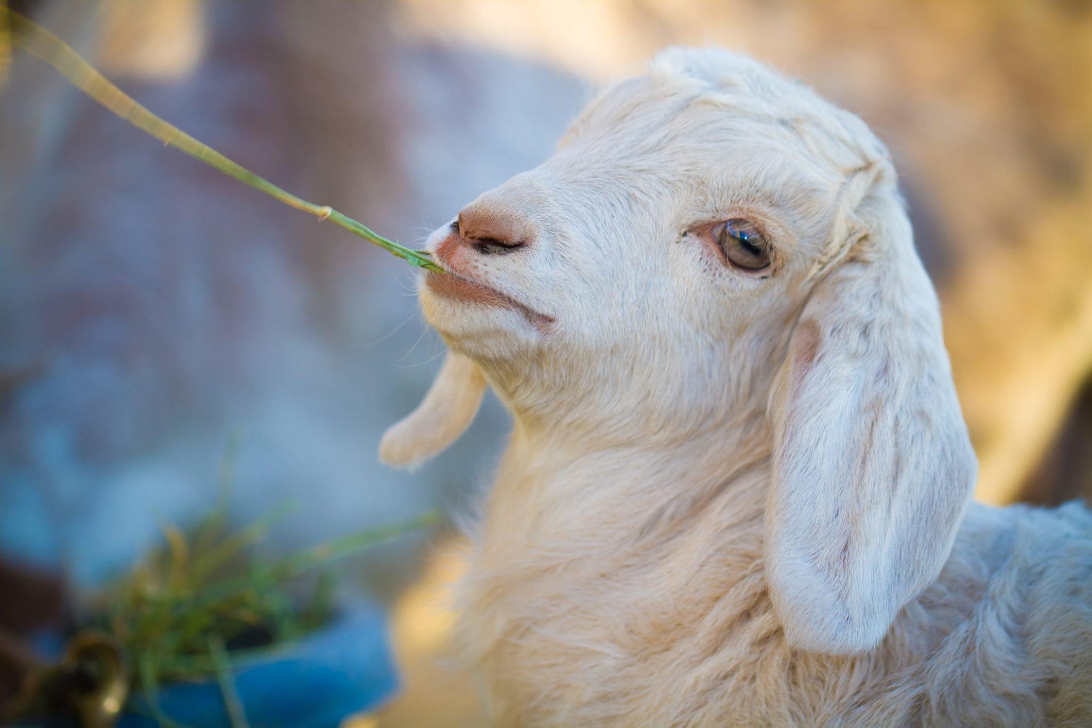 Baby Boer goat