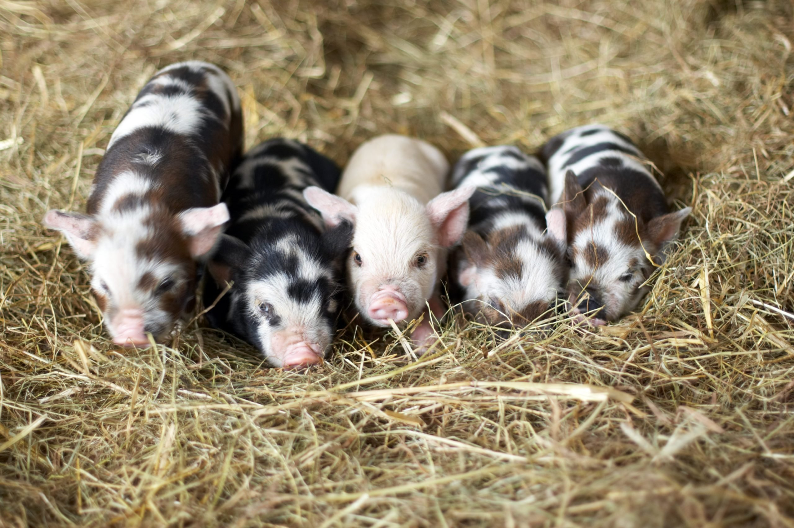 Five piglets laying together in hay