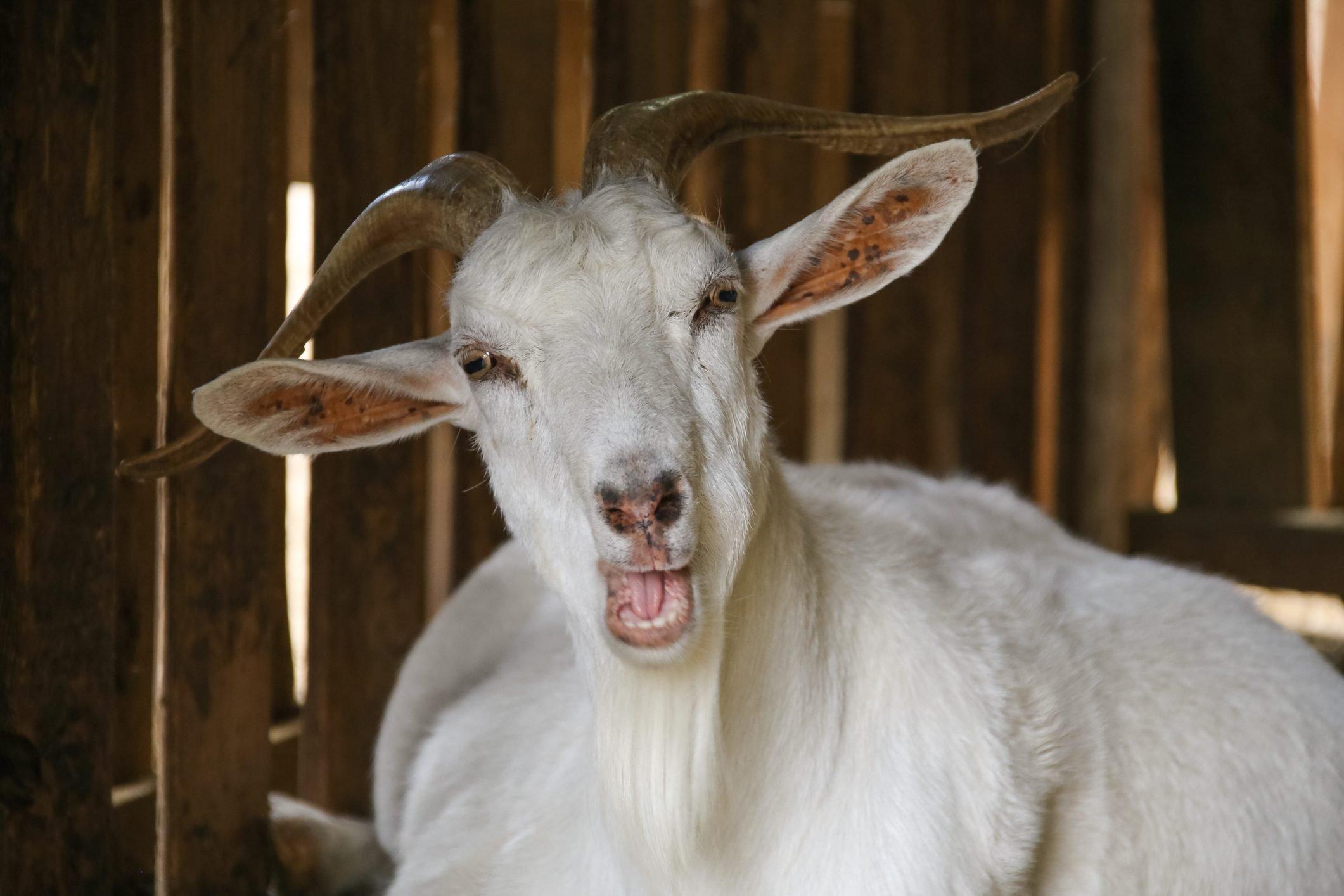 Talking goat