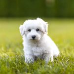 20 of the Cutest White Dog Breeds