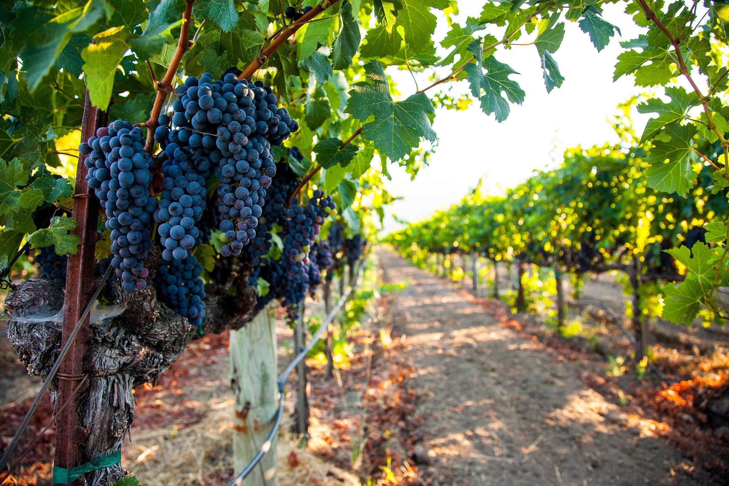 Cabernet Sauvignon grape cluster on the vine in a vineyard in Napa Valley, California
