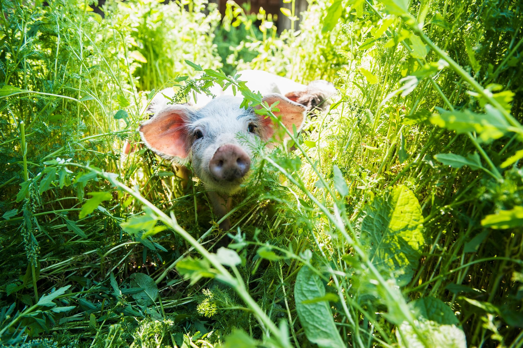 small pig in tall grass