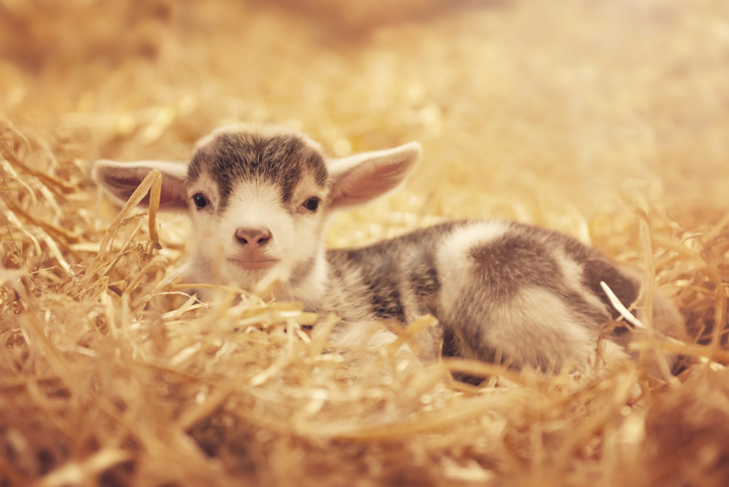 Kid - baby goat