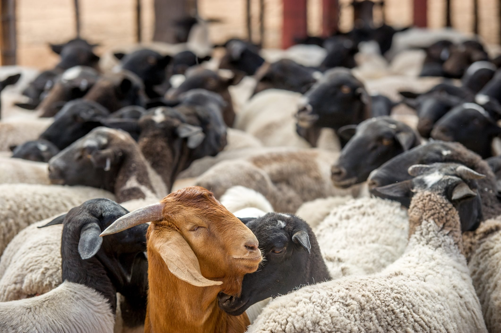 Out of place goat