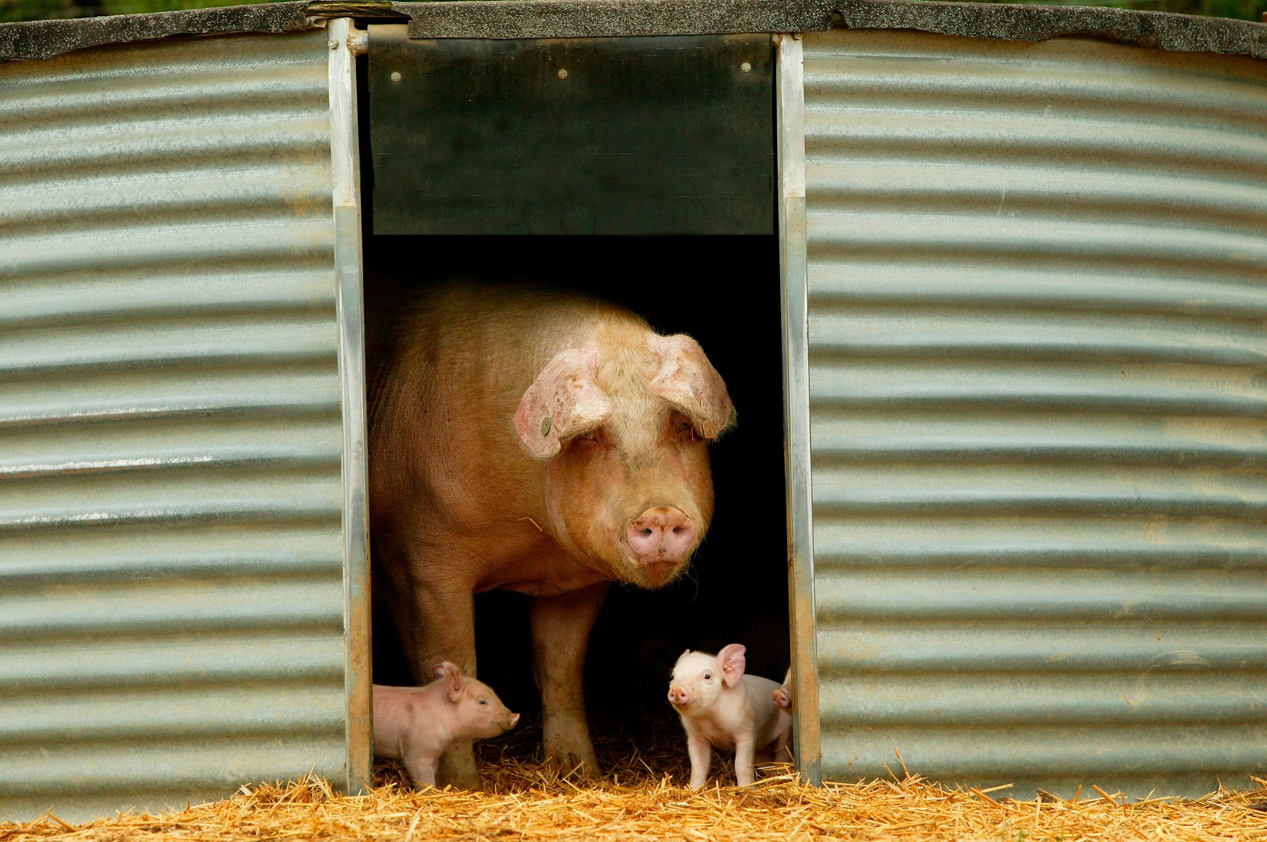 Large White pig and two piglets stand in a barn doorway