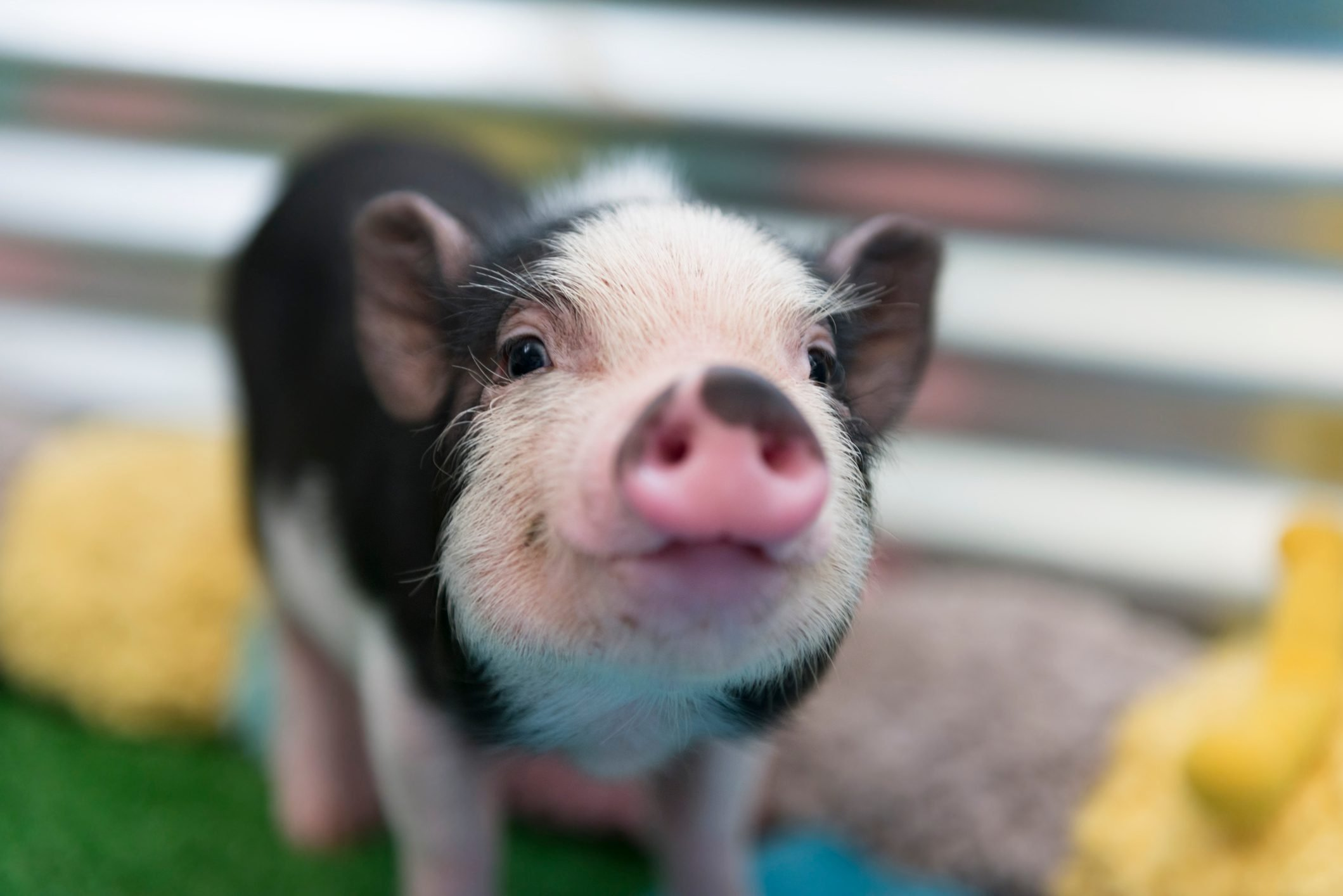 Cute baby piglet