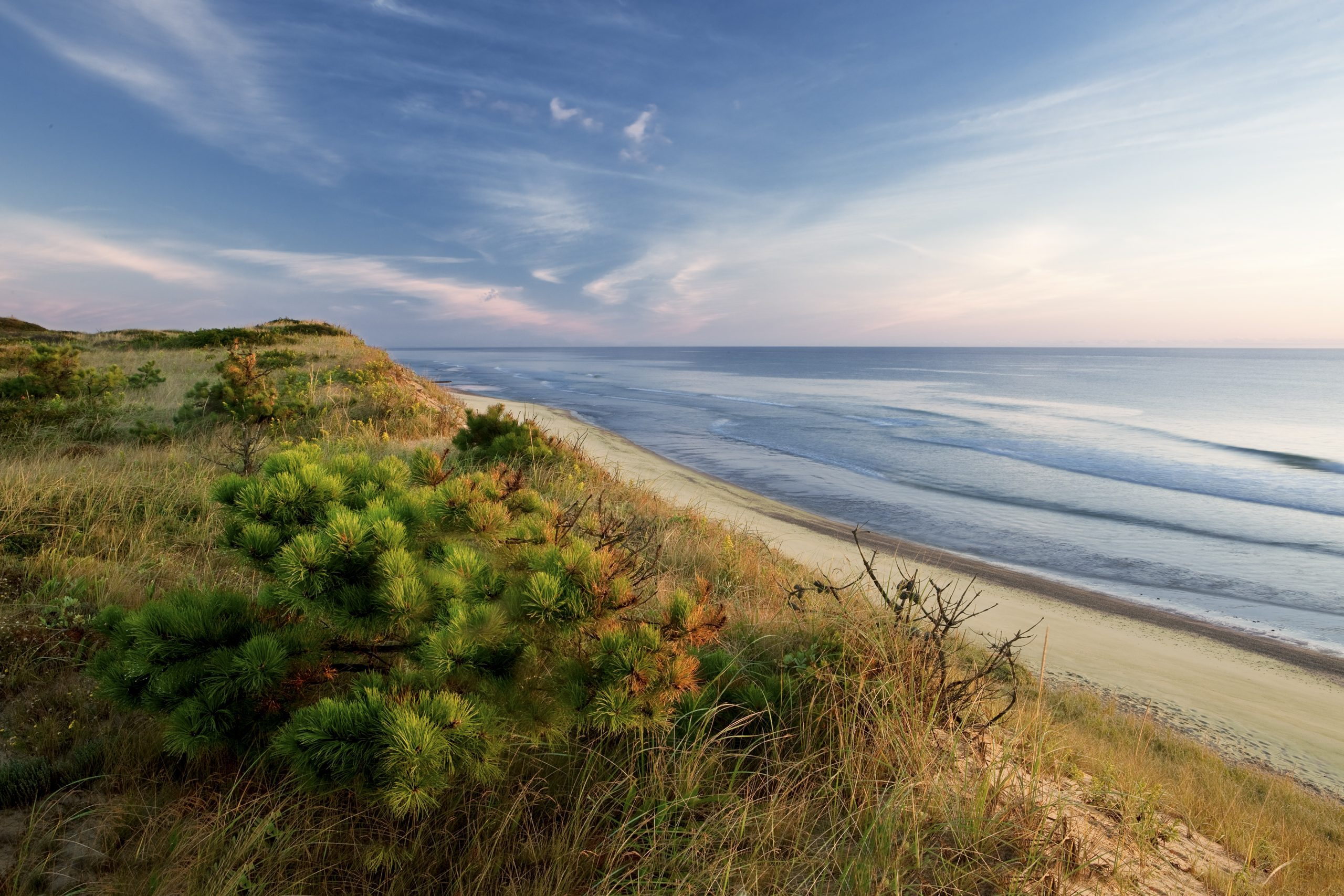 Dune's edge, pitch pine, Marconi beach, wellfleet, Cape Cod national seashore.