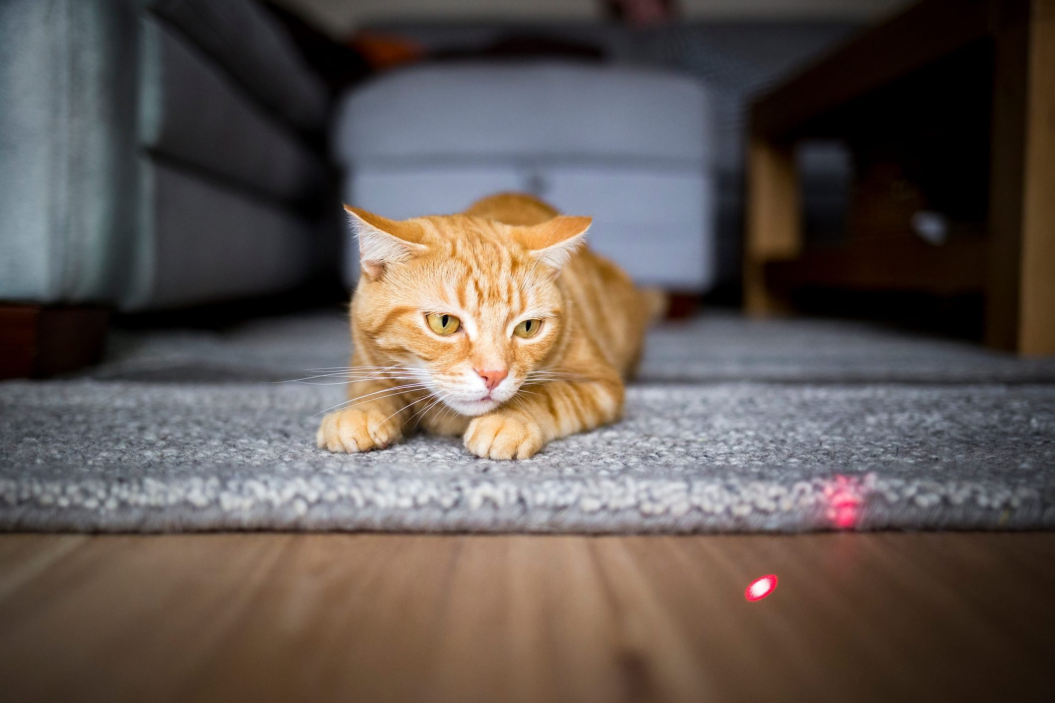 cat staring at the light of a laser pointer on the floor