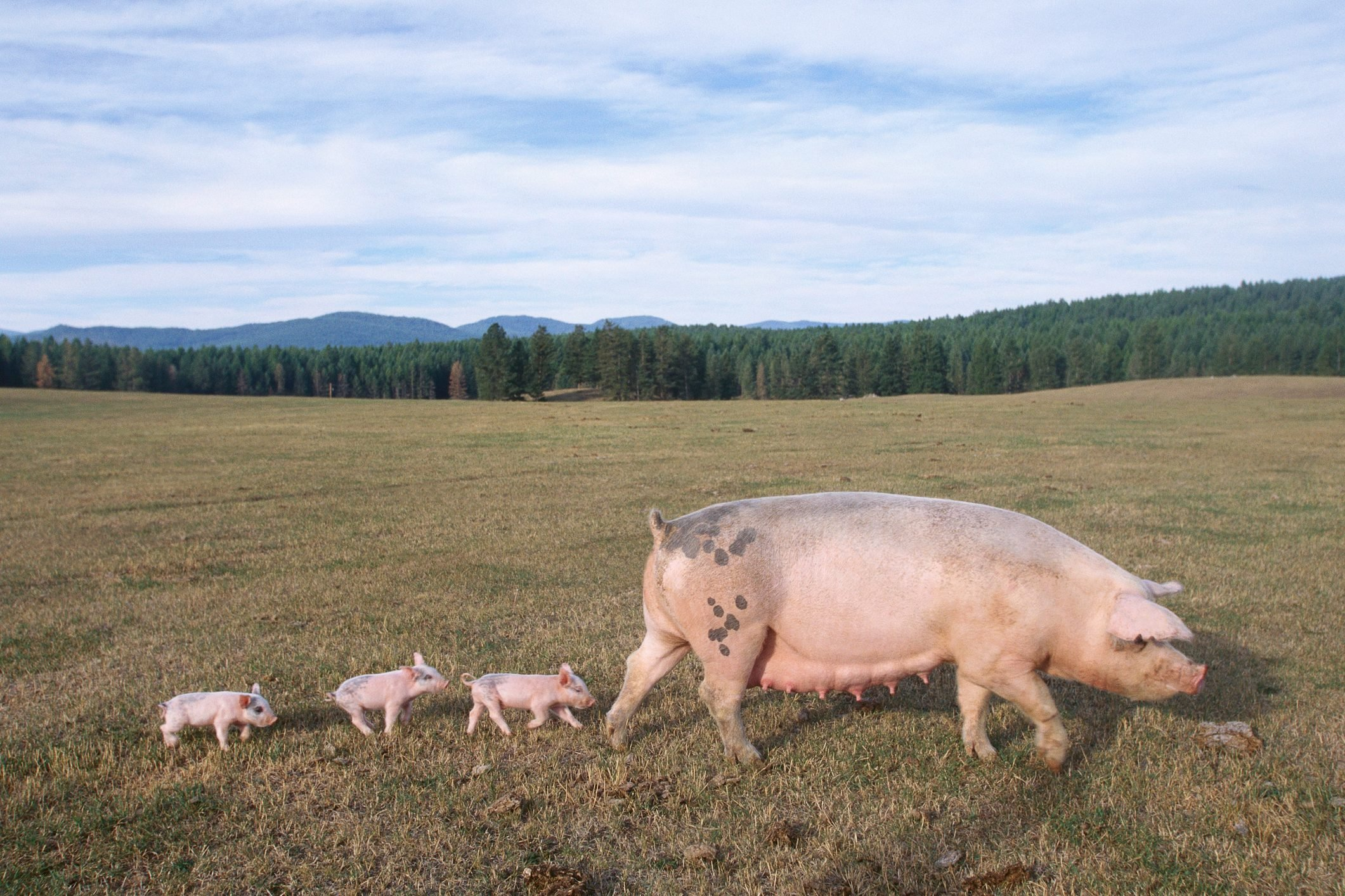 Piglets Following Mother