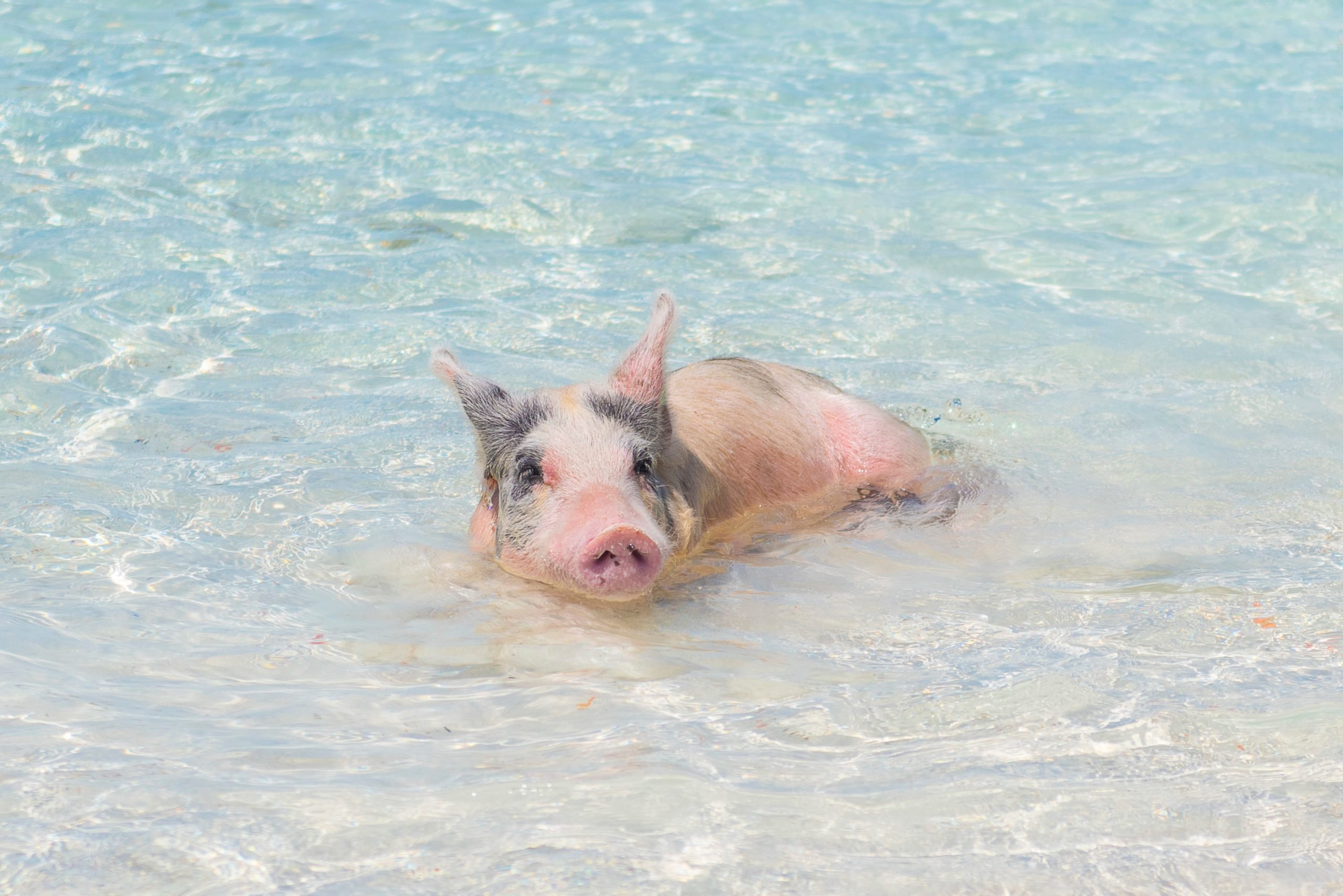 Wild Pig Sitting in Water at Pig Beach in the Bahamas