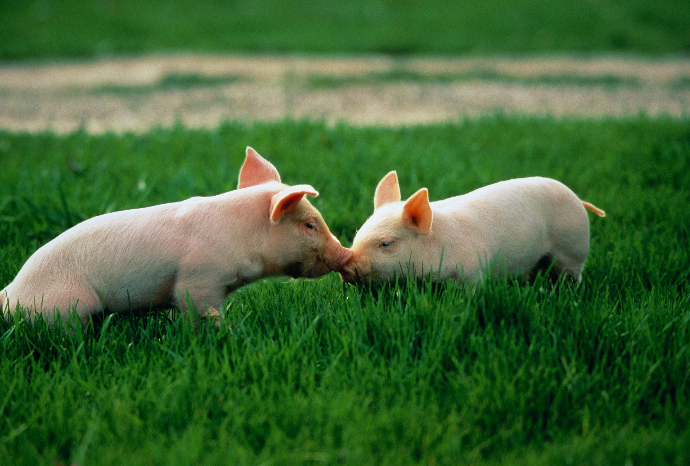 Two piglets in a field touching noses