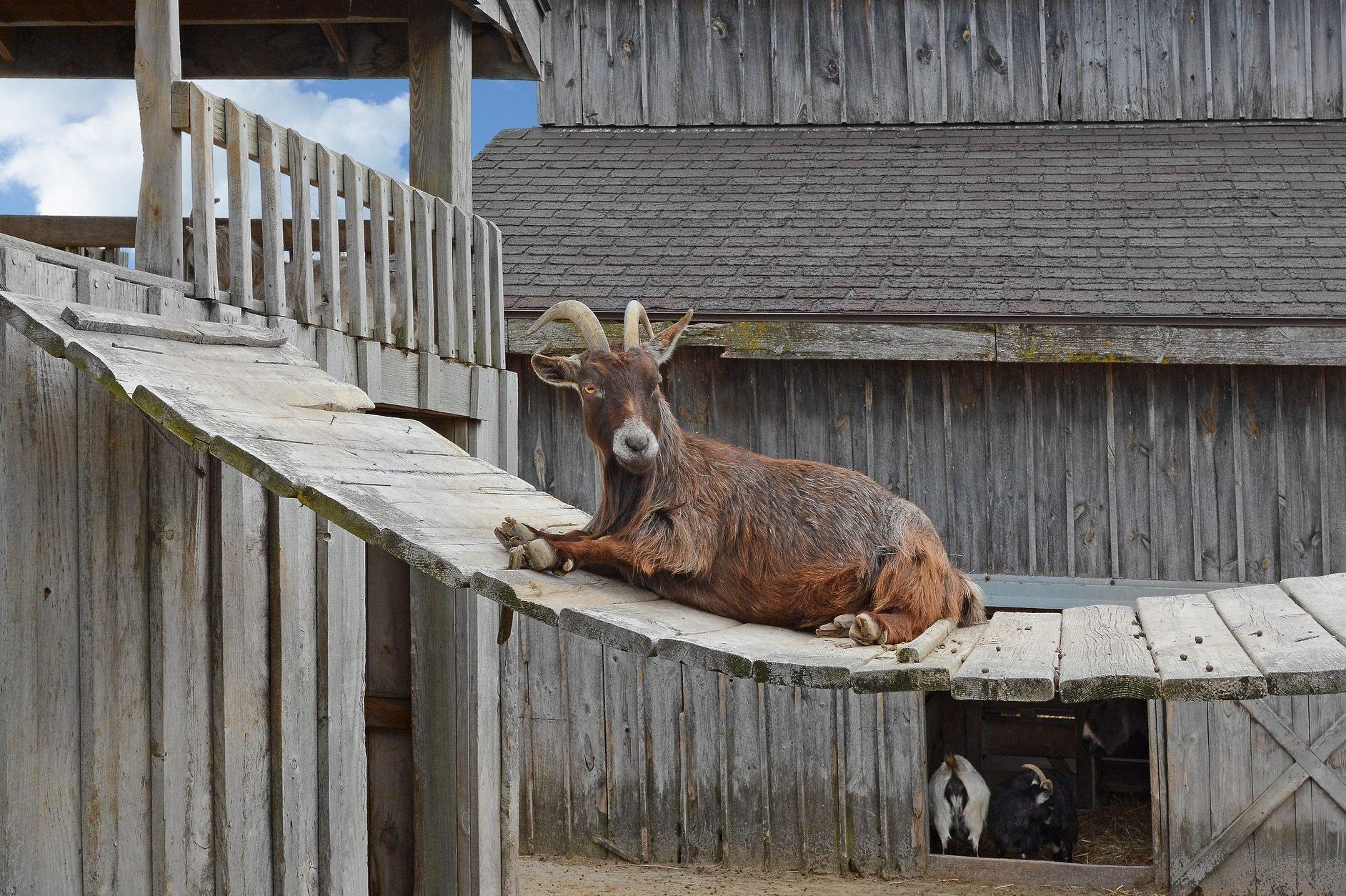 Gruff goat lying on a bridge
