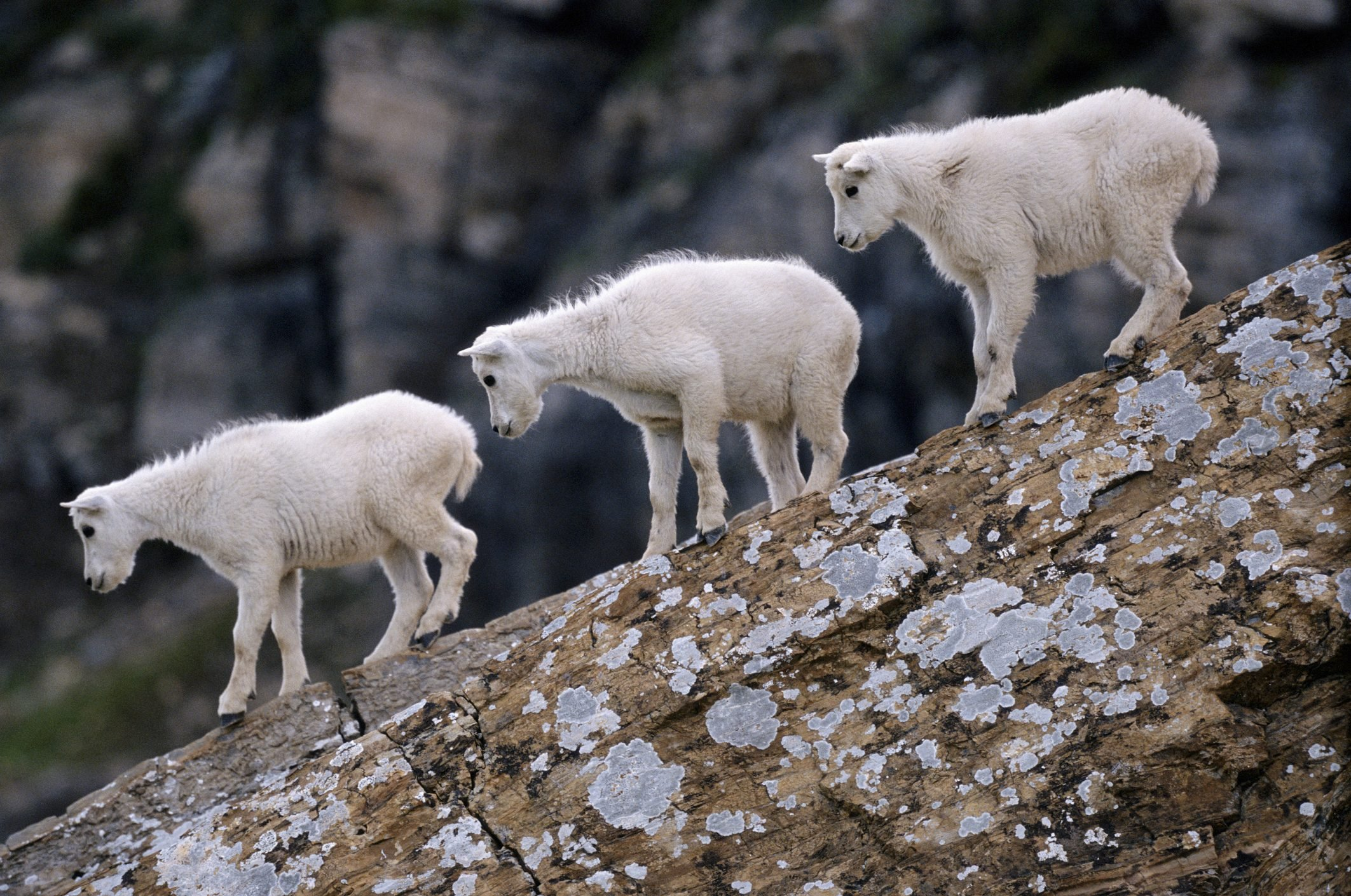 Mountain goat kids (Oreamnos americanus) on fallen wood