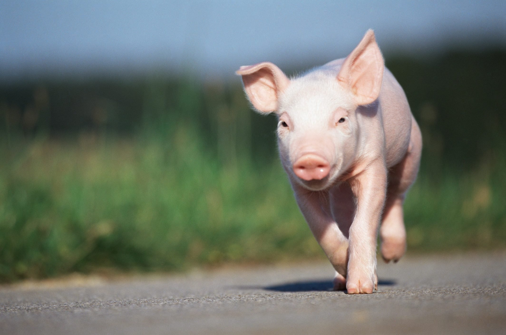 Piglet running along road
