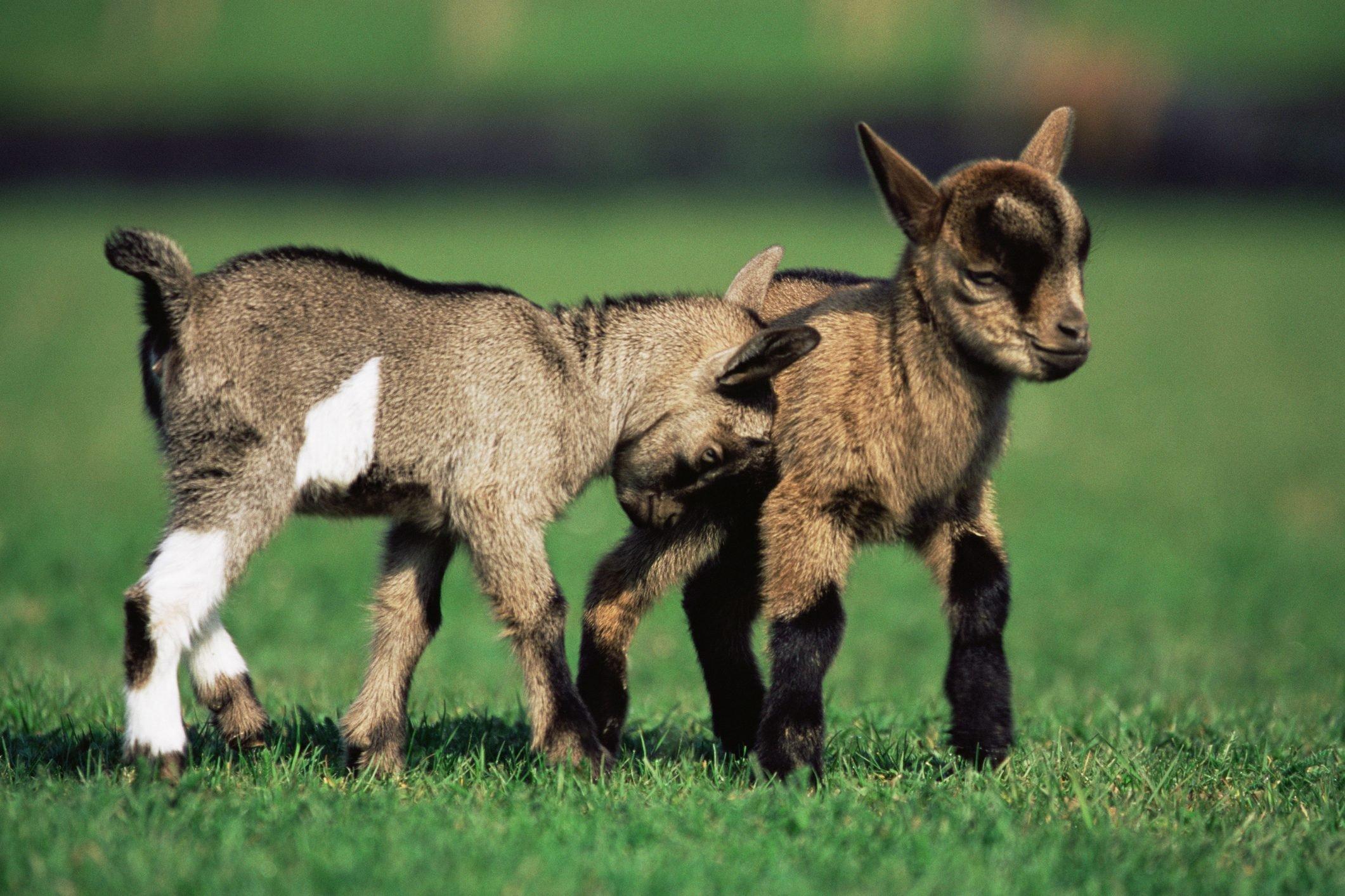 Two kid goats in field