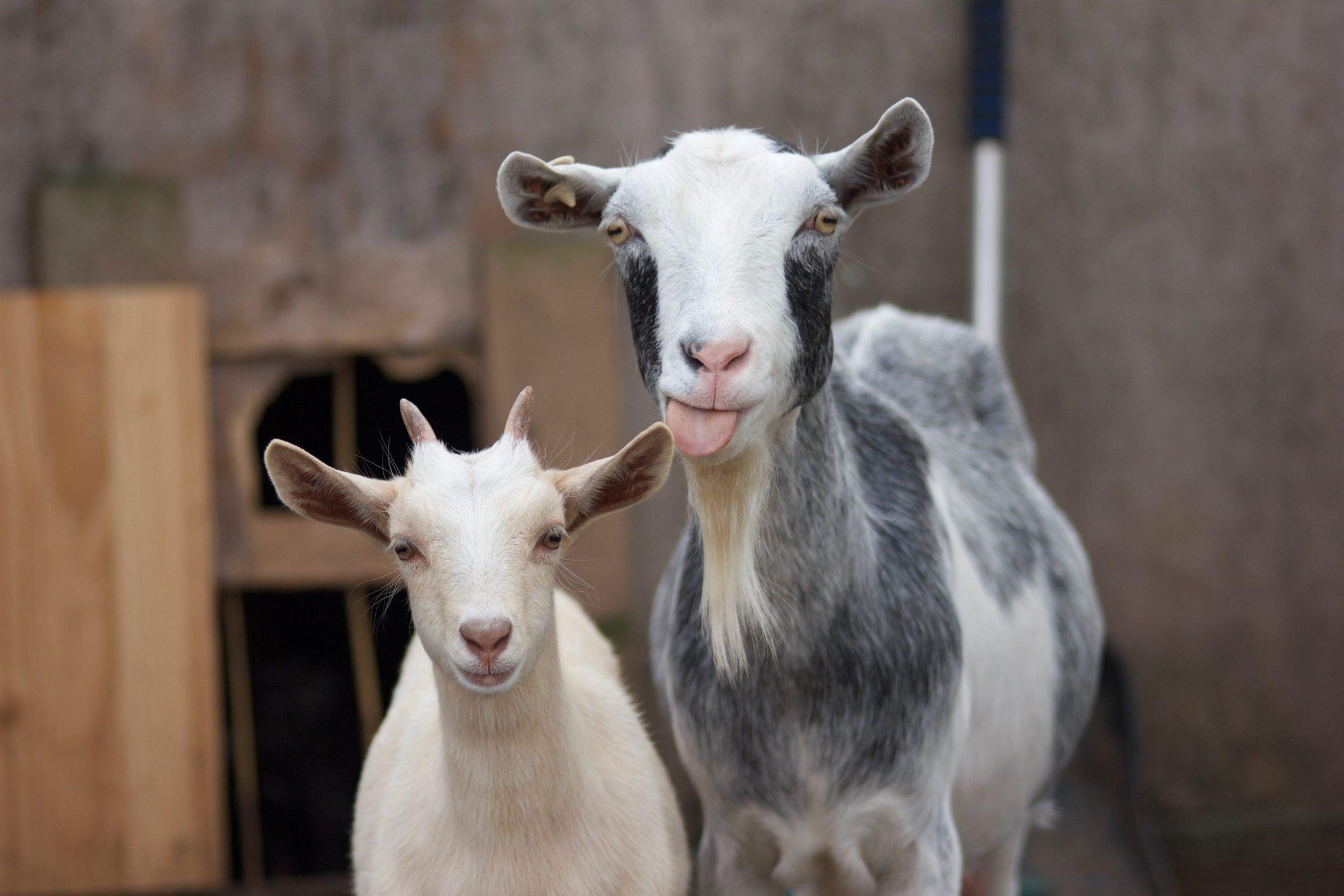 Close-Up Portrait Of Goats