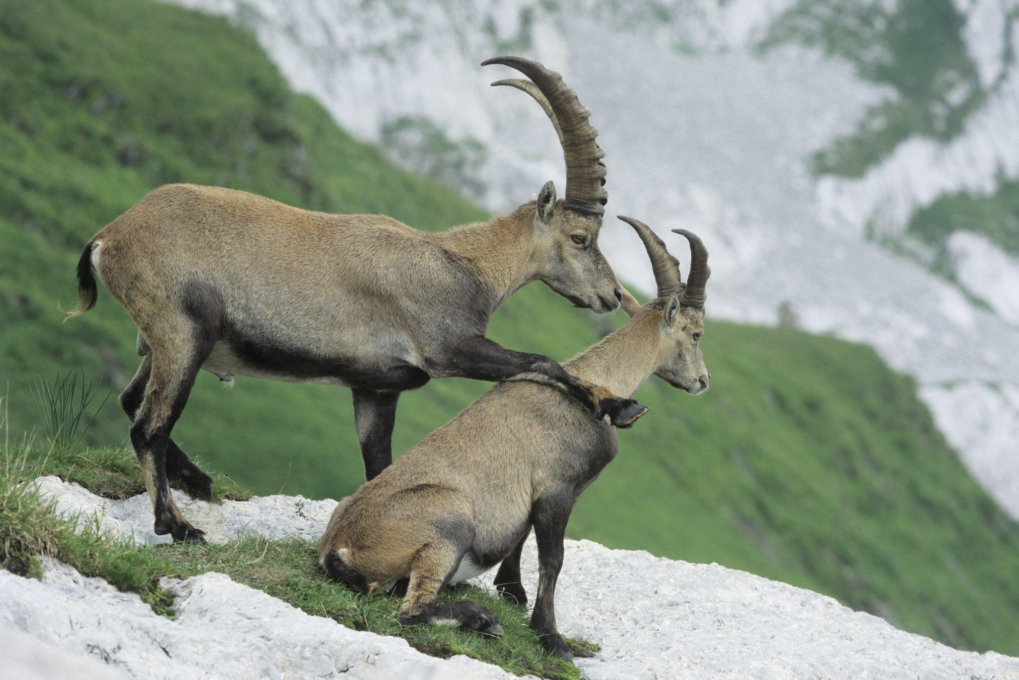 Alpine Ibexes