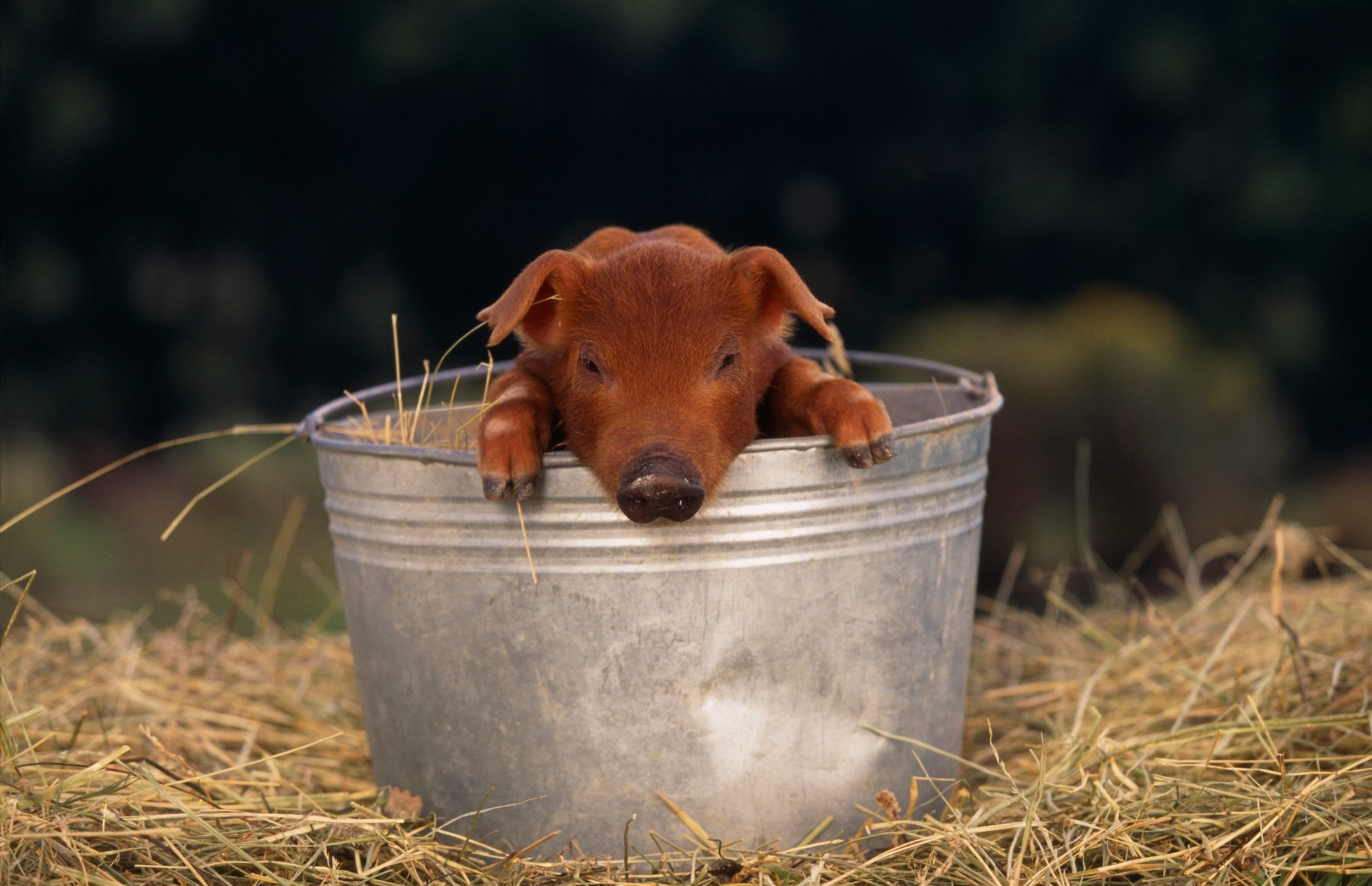 Duroc Piglet in a Bucket