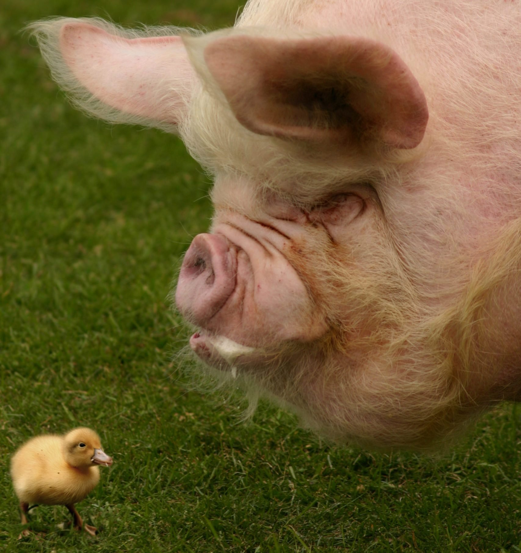 Pig and duckling