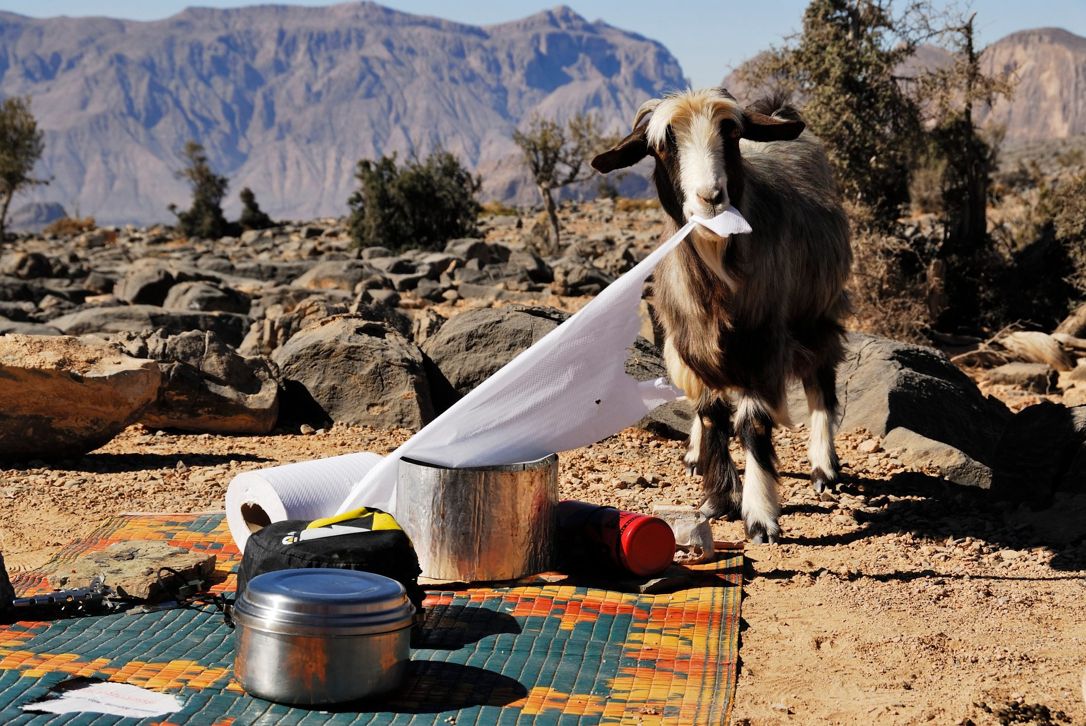 A goat eats paper on a campsite in the desert