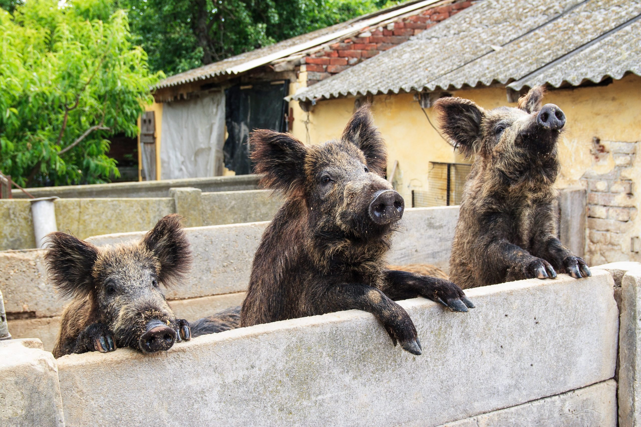 Three brown pigs looking over a fence