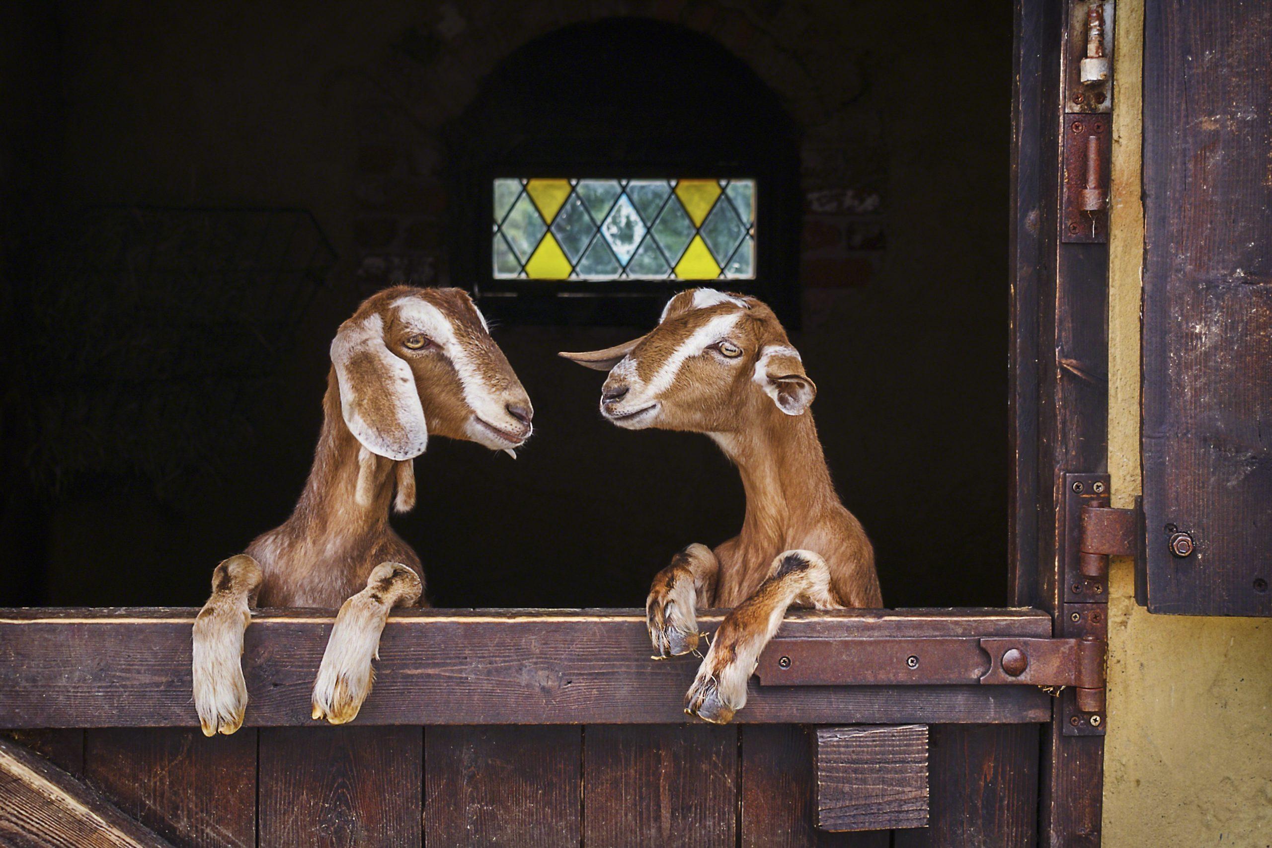 Two goats leaning on barn door, England, UK