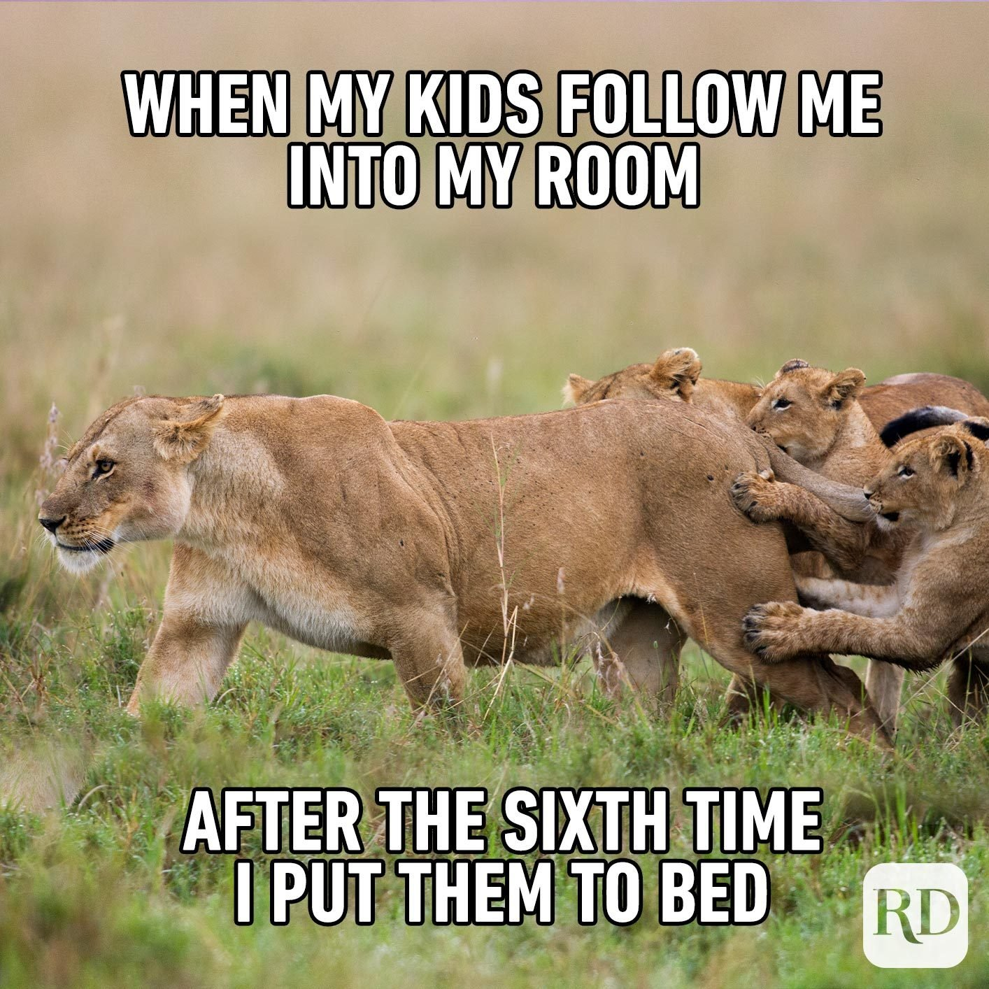 Lion being attacked by her cubs. MEME TEXT: When my kids follow me into my room after the sixth time I put them to bed