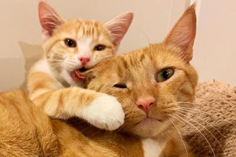 kitten biting the ear of a larger cat