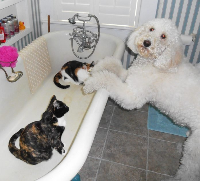 large dog leaning on the edge of a bathtub where two cats are sitting inside