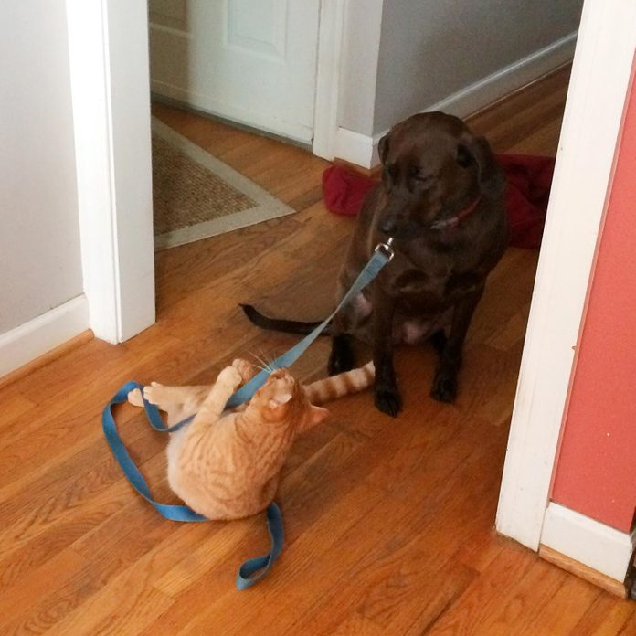 cat pulling on a leash attached to a large dog