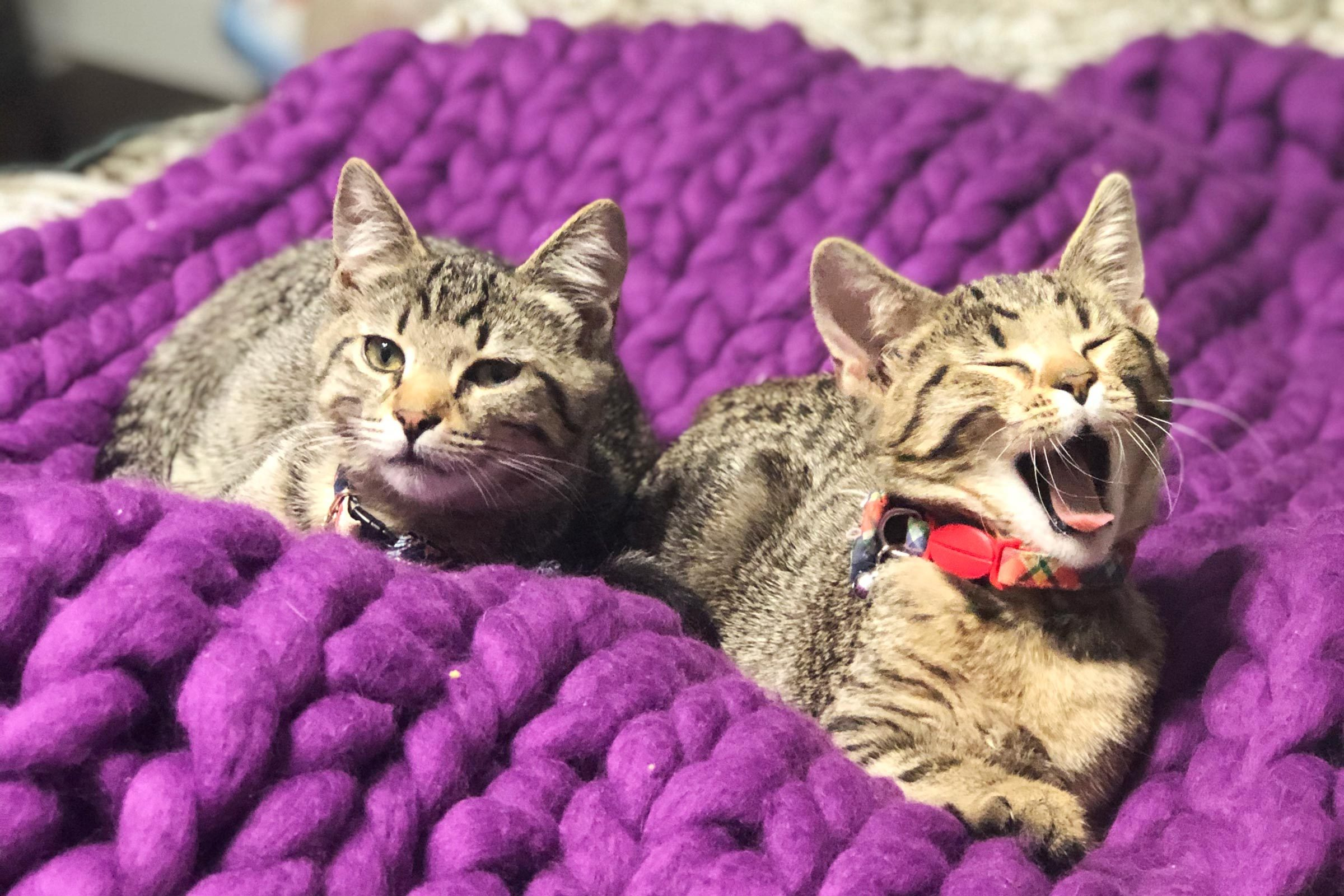 two cats, one yawning, on a bright purple blanket