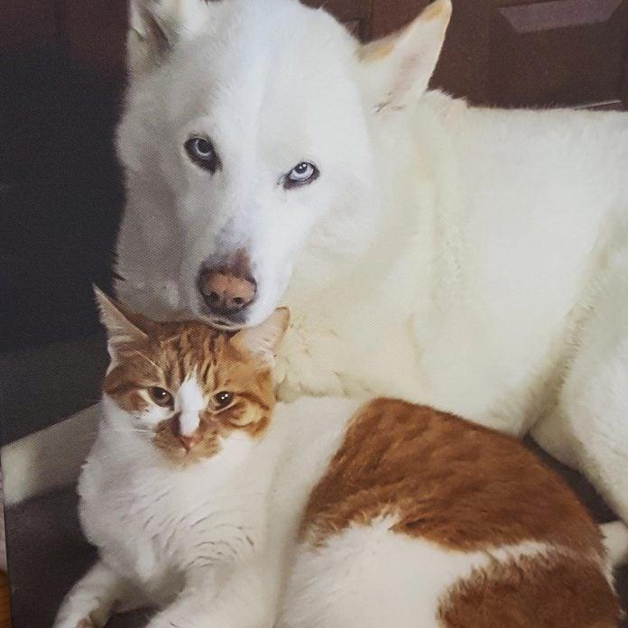 large white dog sitting closely with orange and white cat