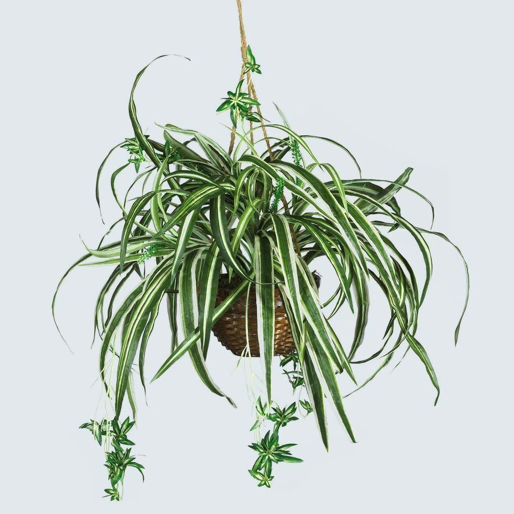 Spider Hanging Basket Silk Plant