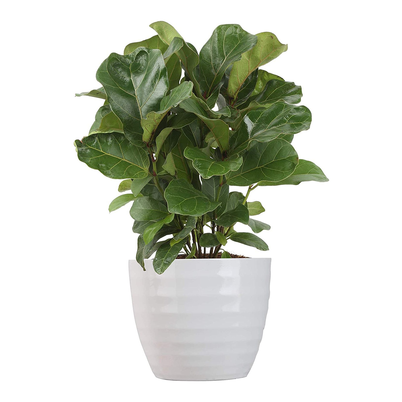 Ficus Lyrata, Little Fiddle Bambino Trending Tropical Collection Live Indoor Plant from Costa Farms