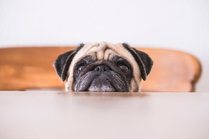 Pug's head leaning on tabletop