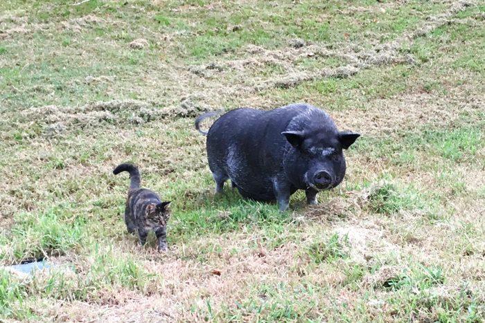 pig and cat pet pals
