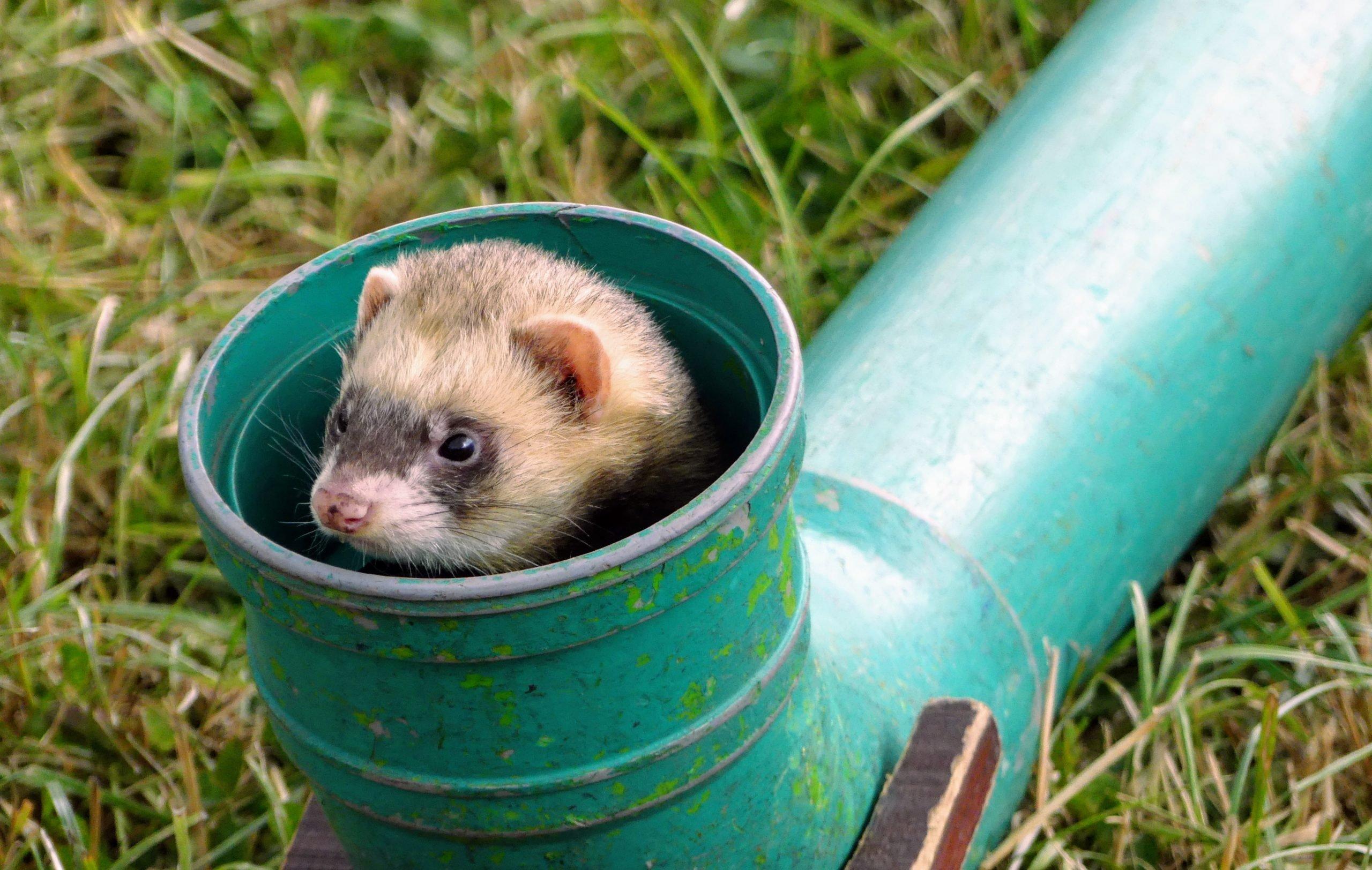 A ferret peers out of a pipe, ferret racing. Ferret, Mustela putorius
