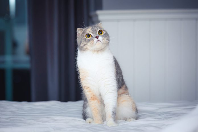 cute and curious Scottish fold cat on bed at home