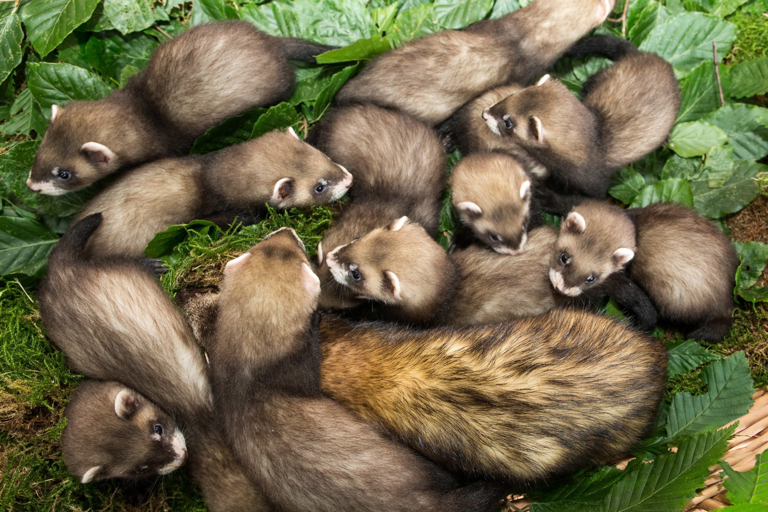 Ferret offspring at Eekholt Zoo