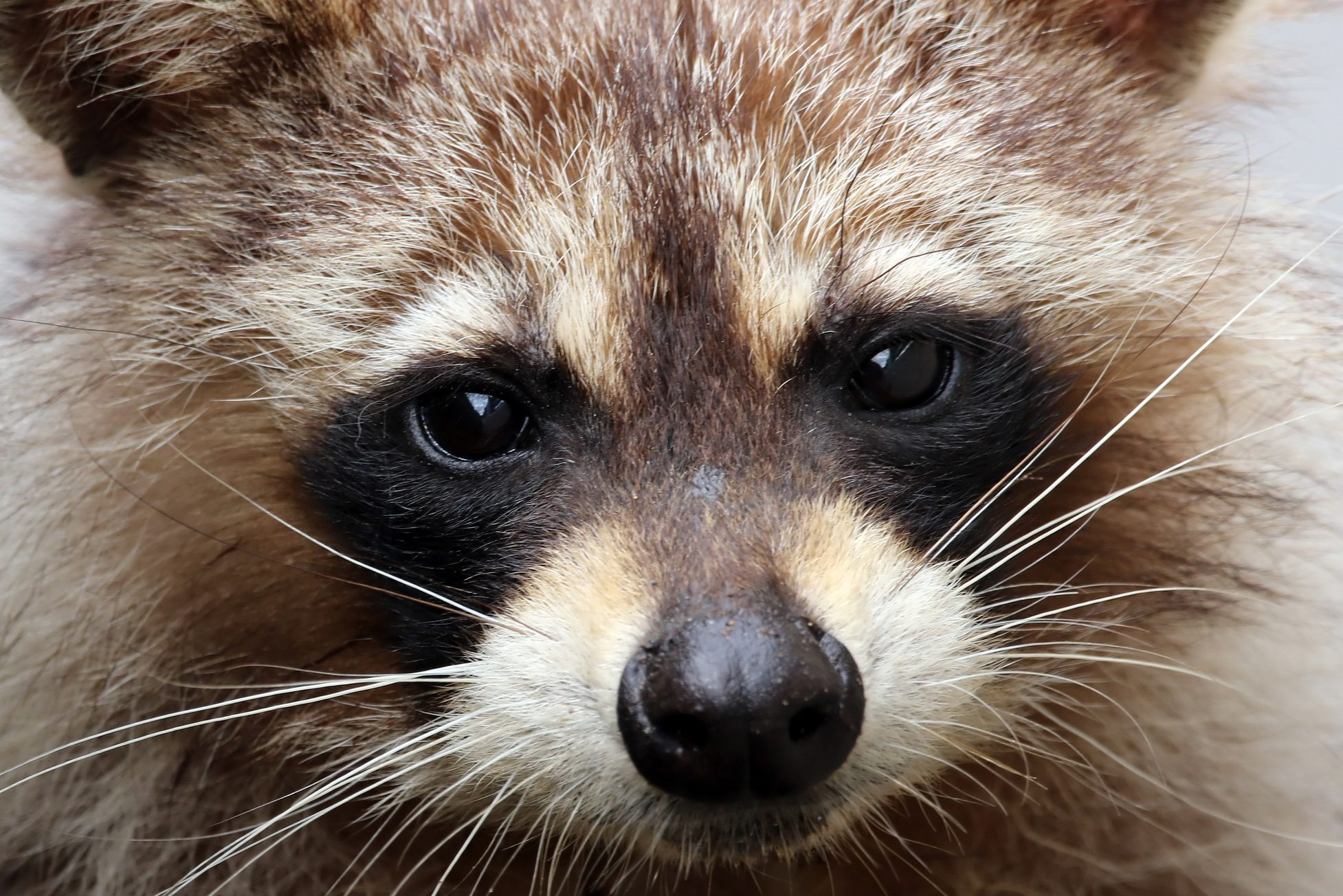 Close-Up Portrait Of Raccoon