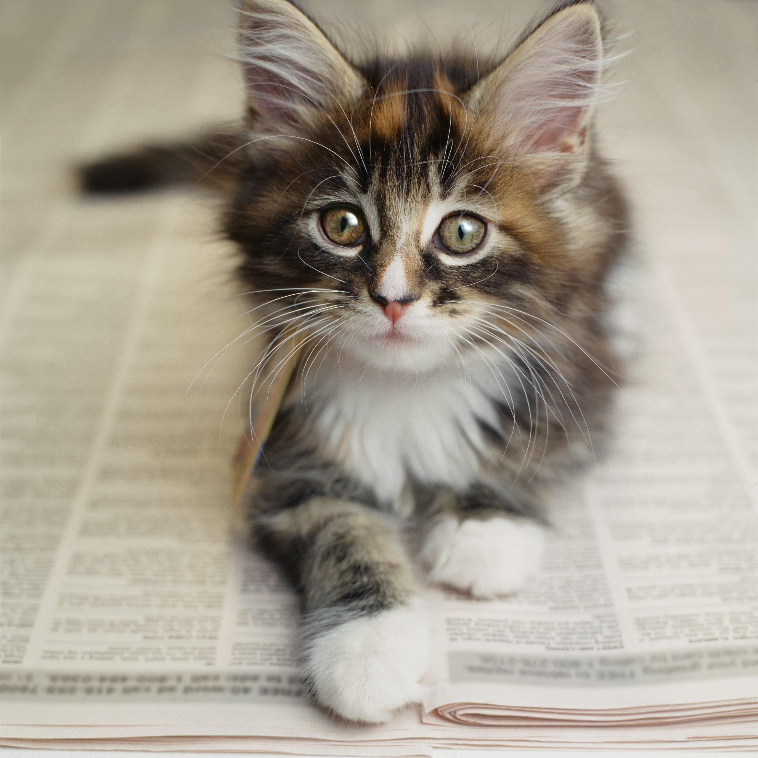 Kitten Laying On Newspaper