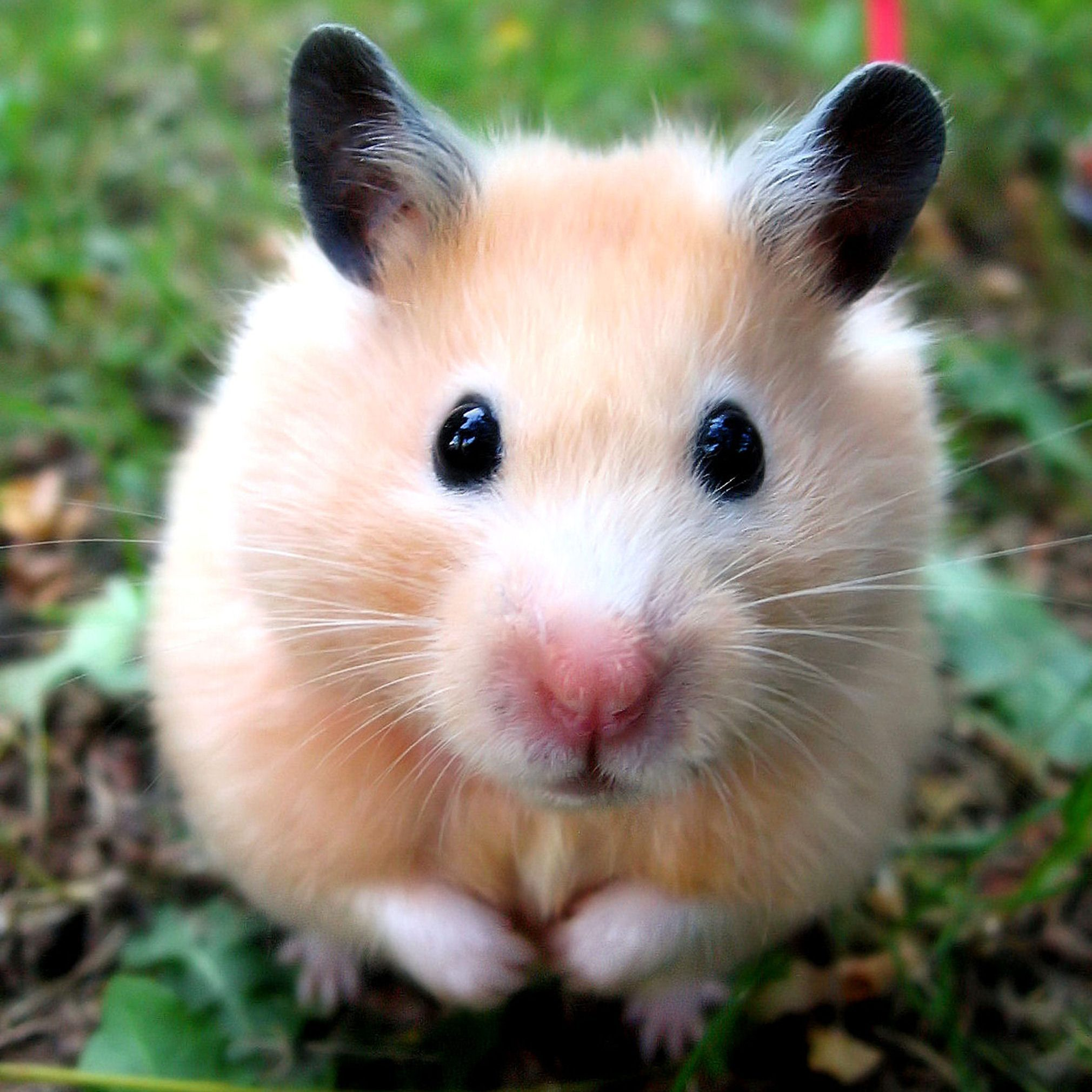 Syrian hamster outdoors