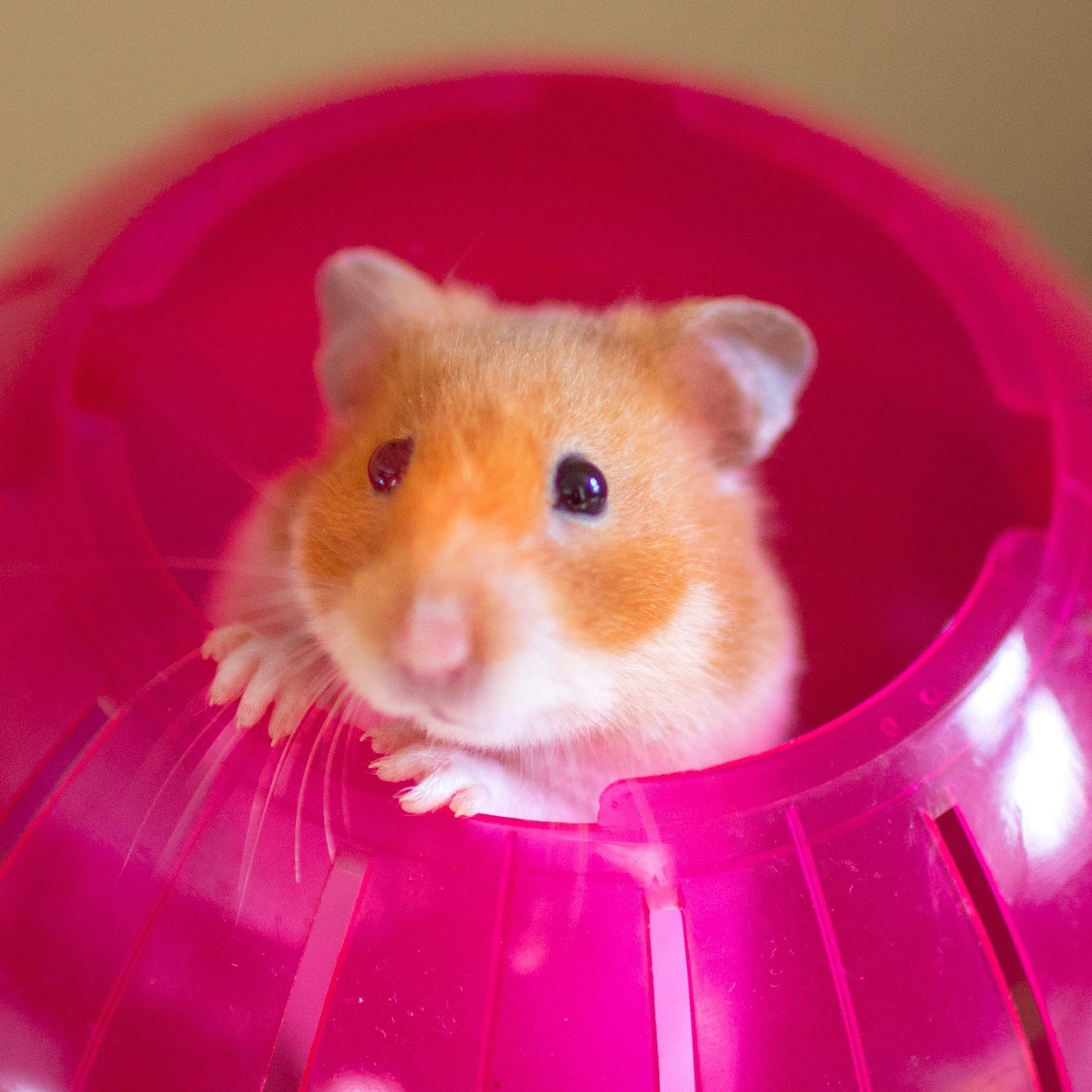 Cute Syrian hamster poking her head out of a bright red exercise ball, looking in to the camera