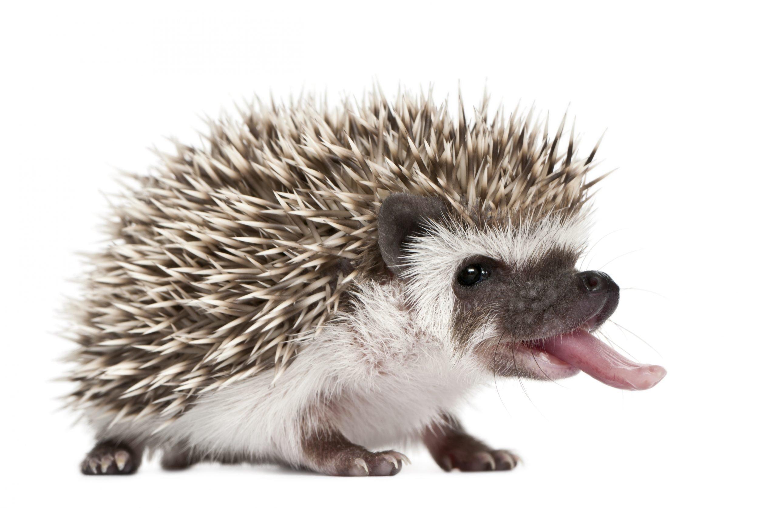Four-toed Hedgehog - Atelerix albiventris (3 weeks