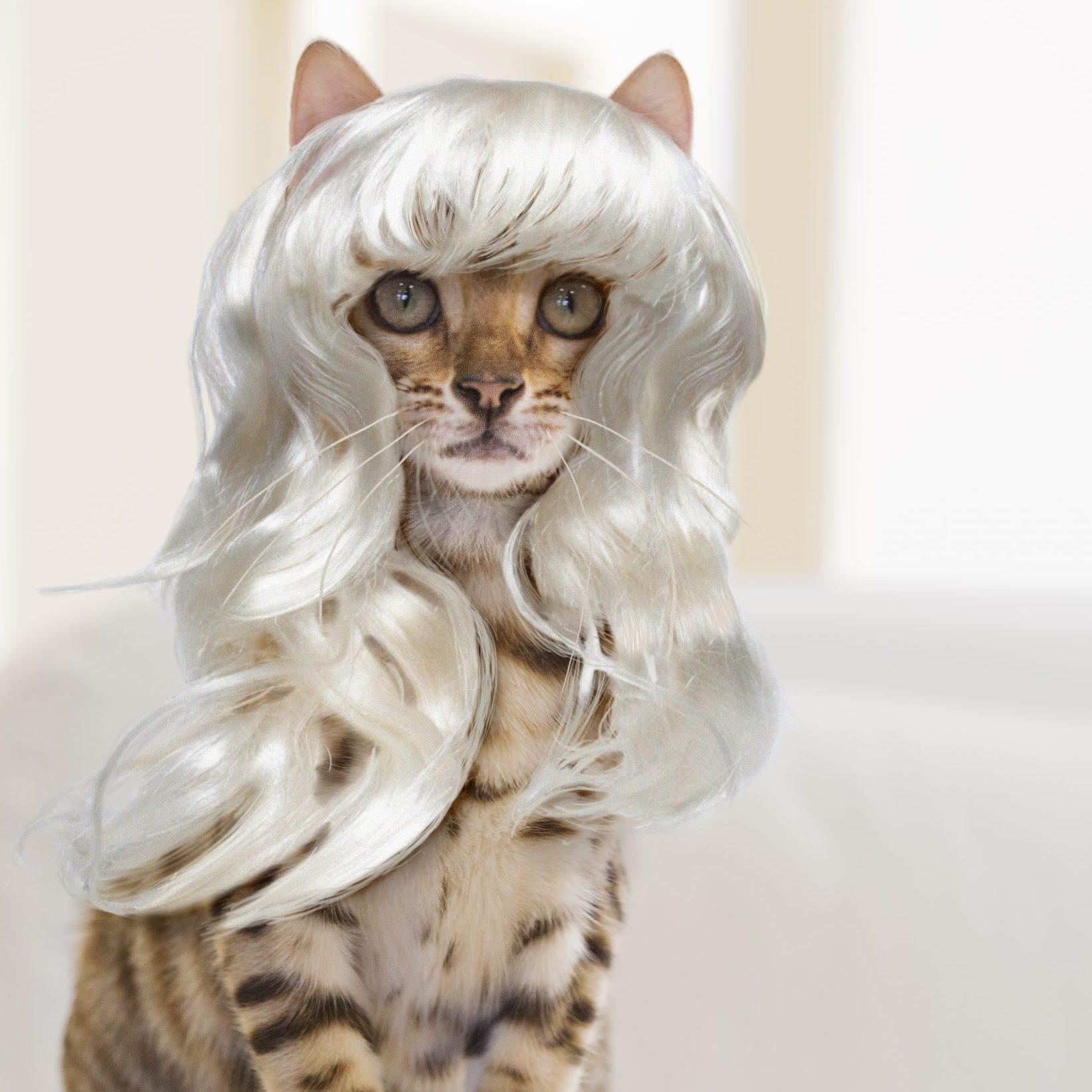 Bengal Cat wearing a Platinum Blonde Wig