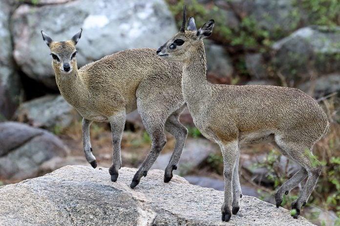 Two klipspringers on rocks